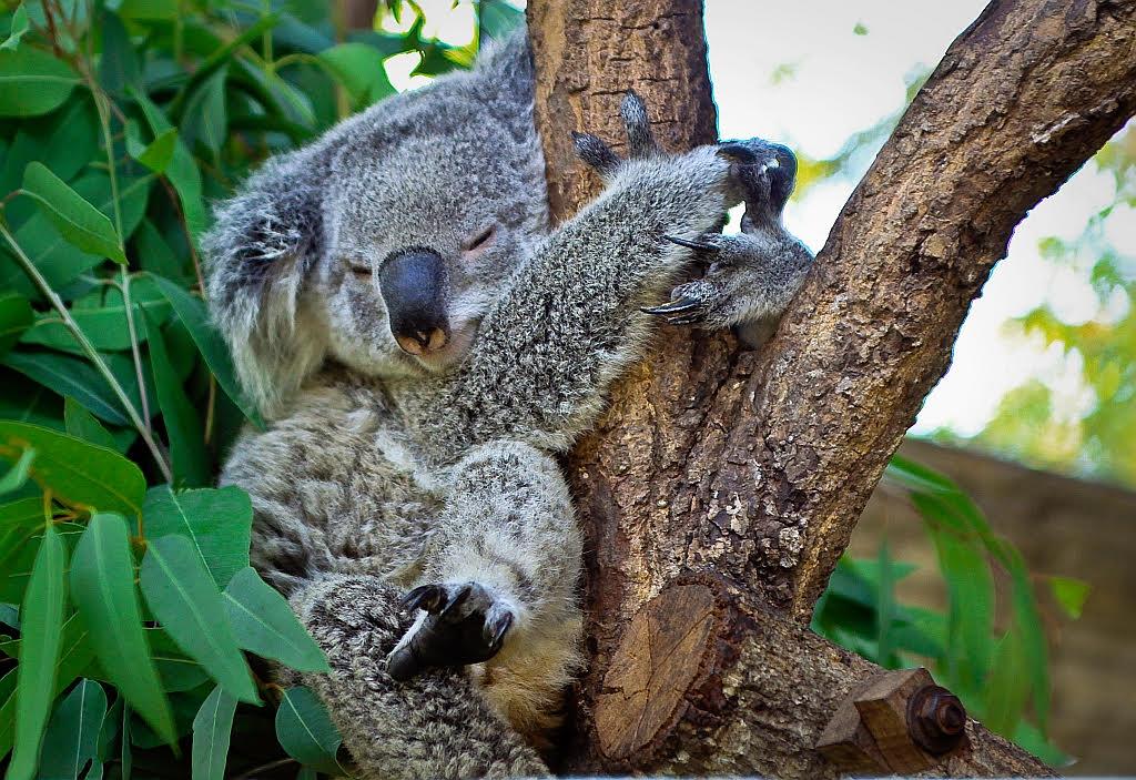 Koala-knuffelt-boom